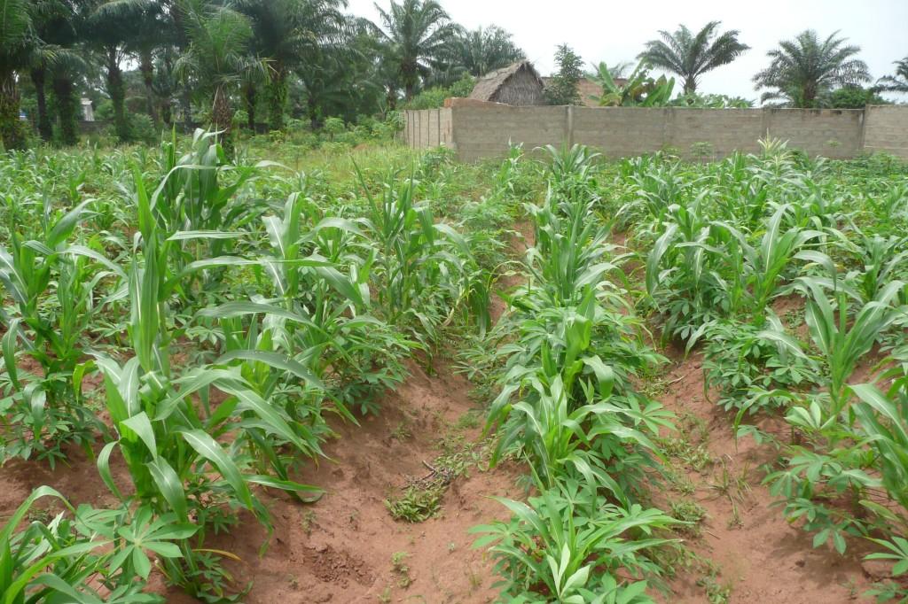 coltivazione di mais e manioca
