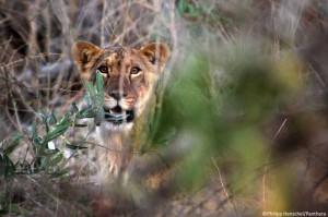 Giovane leone, foto di Philipp Henschel ripresa da ecologie.blog.lemonde.fr