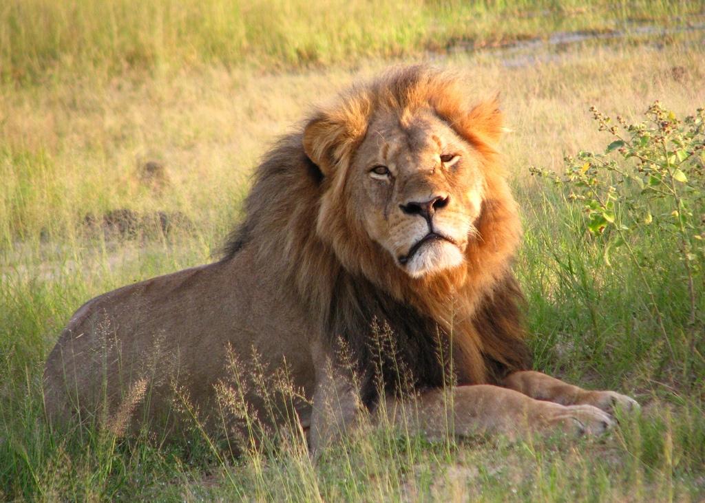 Il leone Cecil, Hwange National Park, Zimbabwe 2010. Foto dell'utente Flickr Daughter#3 su licenza CC