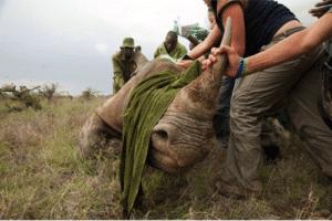 Un rinoceronte nero viene marcato per la sua identificazione, e sottoposto a decornazione come misura preventiva antibracconaggio. Foto di Guillaume Bonn sulla piattaforma Everyday Africa.