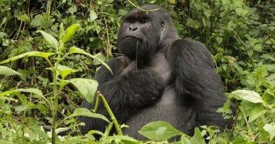 I gorilla del Virunga, protetti dalla guerra a costo della vita