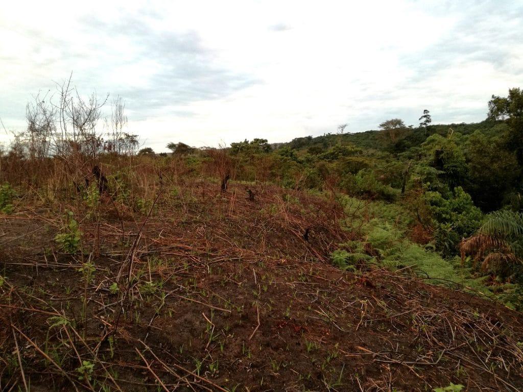 Parte della foresta è stata tagliata e bruciata per fare carbone vegetale e coltivare il terreno spoglio di alberi.