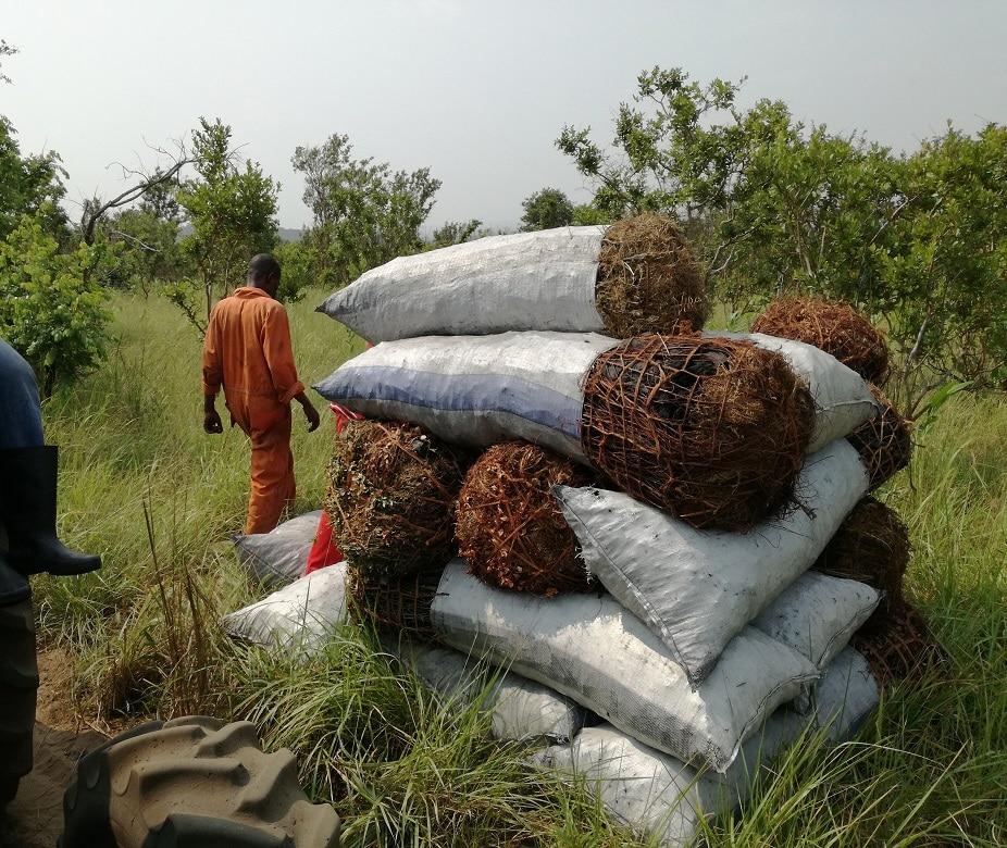 Nelle foreste secondarie, il legname viene utilizzato per fare sacchi di carbonella o carbone vegetale.