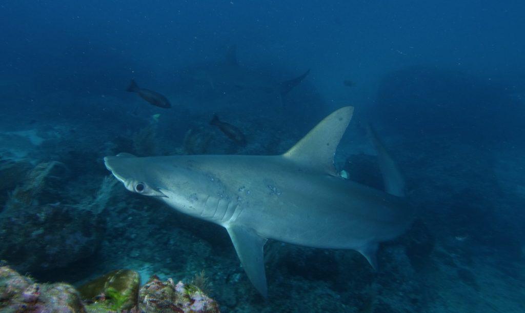 Gli squali martello sono l'attrazione principale di Isla del Coco: nei mesi estivi centinaia di esemplari convergono nelle acque profonde che circondano l'isola portati dalle correnti oceaniche per la gioia dei subacquei.