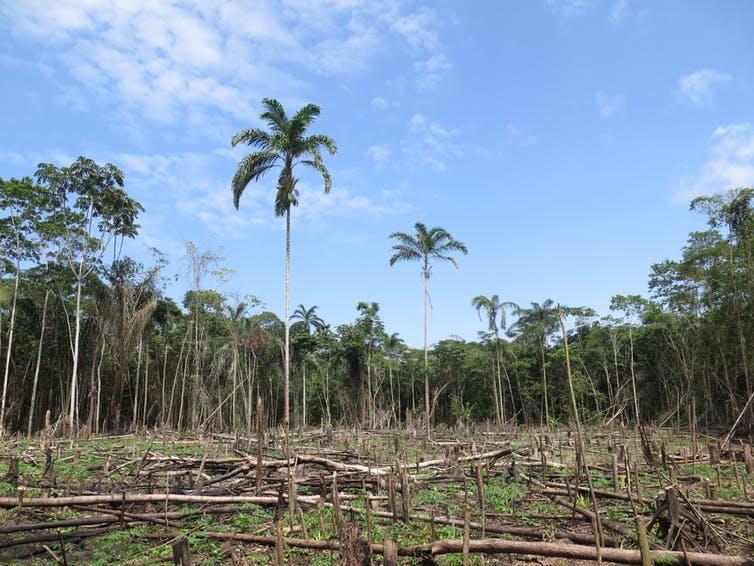 Deforestazione nell'Amazzonia peruviana – le popolazioni locali sono state consultate prima che arrivasse la motosega?