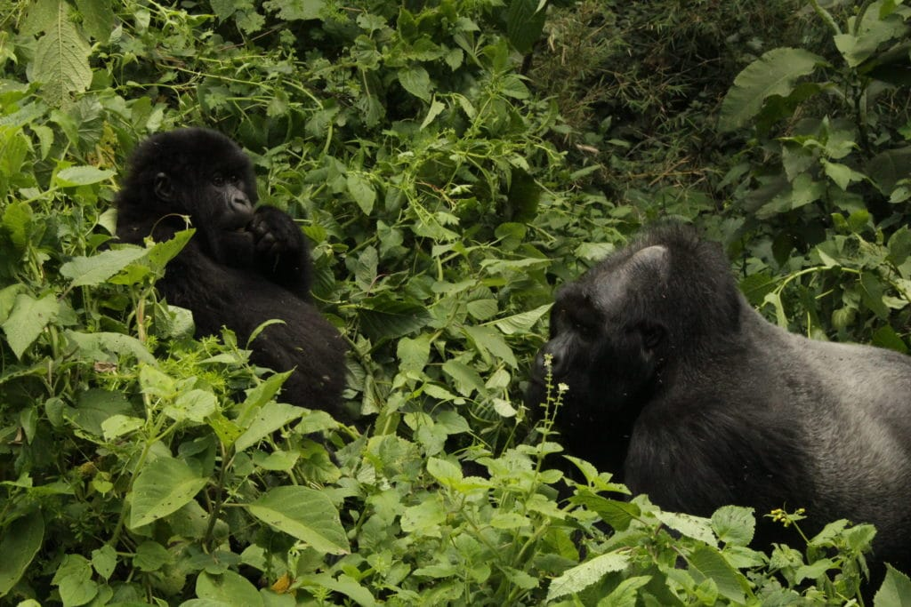 Due gorilla di montagna del Parco Virunga