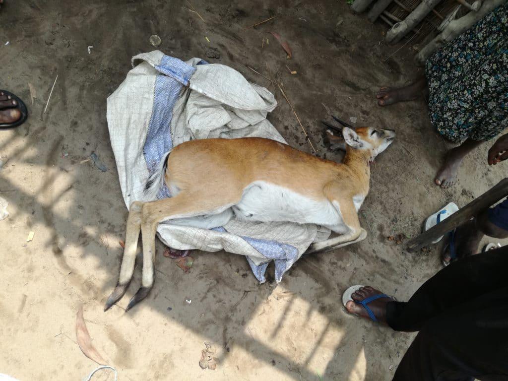 Un'antilope uccisa da bracconieri all'interno della Riserva del Bombo Lumene. La sua carne verrà venduta ai mercati di Kinshasa.