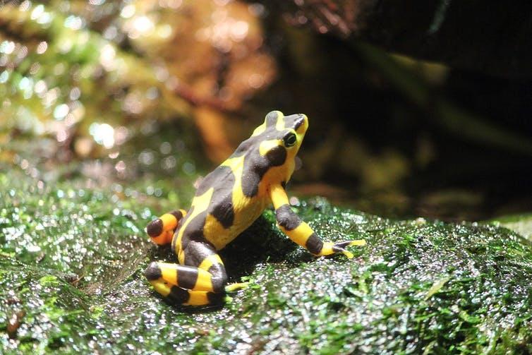 La rana d'oro di Panama non viene più avvistata in natura dal 2006. Foto di RedGazelle123 su licenza CC BY-NC-SA.