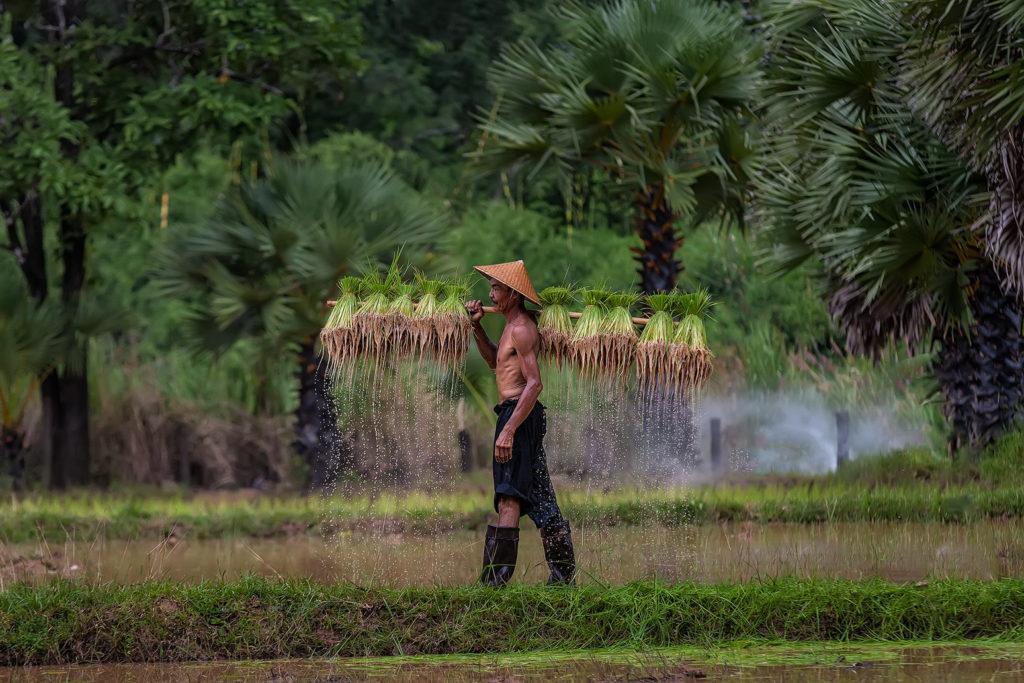 Un coltivatore di riso in Thailandia. Immagine ripresa da Flickr/Visoot Uthairam in licenza CC