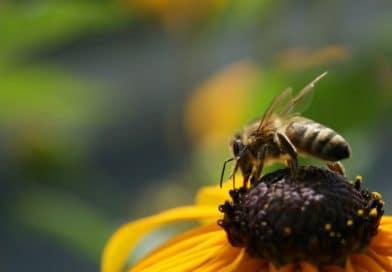 Le api stanno scomparendo. Perderemo profumi e sapori