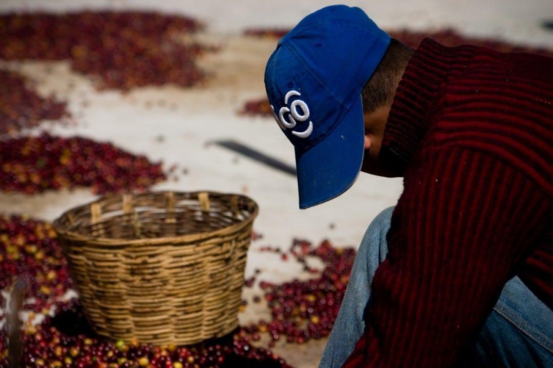 Un ragazzo separa i frutti della pianta di caffè, uno dei principali mezzi di sostentamento della regione.