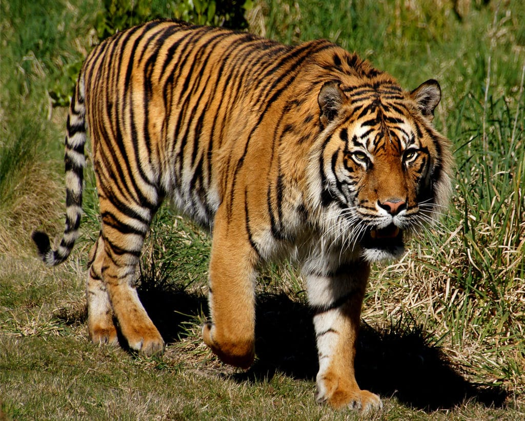 Tigre di Sumatra, tra le specie più a rischio per perdita habitat naturale. Flickr Creative Commons