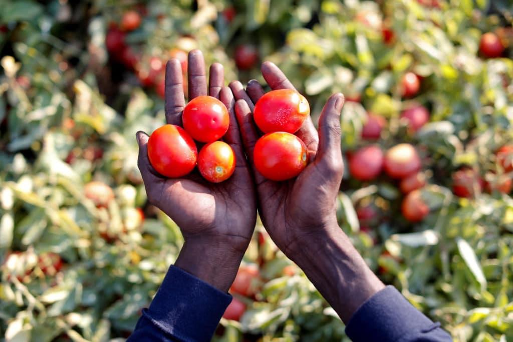 Migrante senegalese raccoglie pomodori a Foggia / Immagine da Flickr in Licenza CC / REUTERS/Alessandro Bianchi