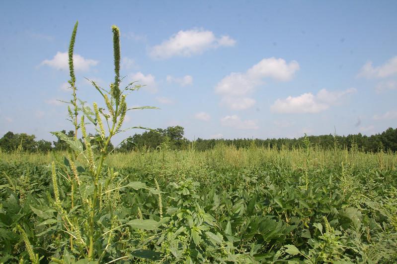 Amaranthus palmeri, una varietà di amaranto concorrente di cotone e soia cha ha manifestato resistenza al glifosato, foto Flickr dell'utente Delaware Agriculture su licenza CC.