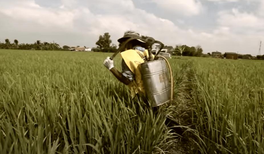 Pesticidi illegali nelle coltivazioni in Asia - Foto da video CropLifeAsia